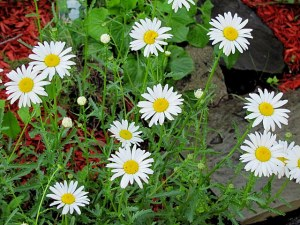 first daisies 2013