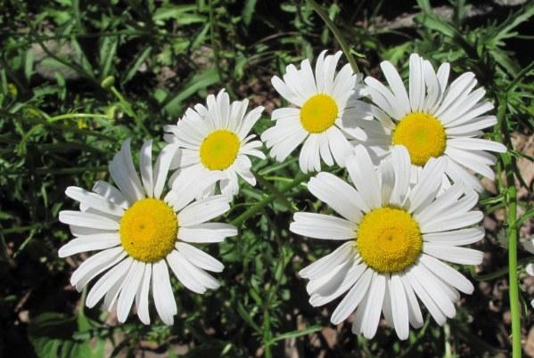 daisies2015