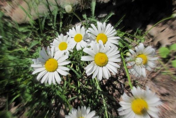 daisies22015