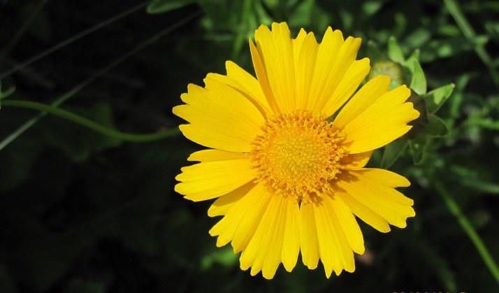 one yellow daisy 2015