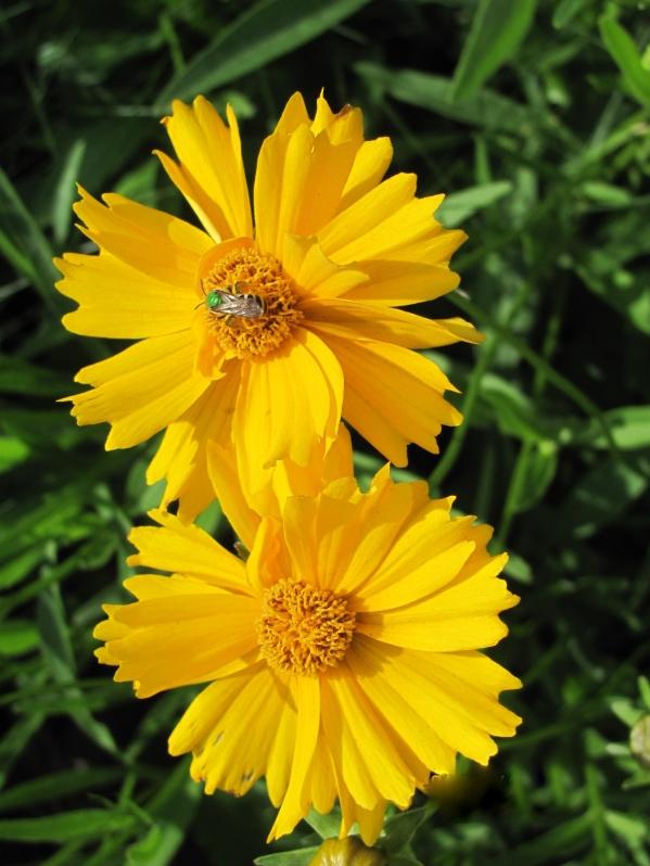 yellow daisies2015